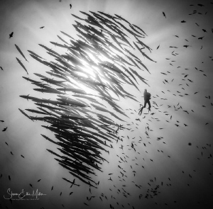 Schooling Barracuda in Wakatobi by Steven Miller