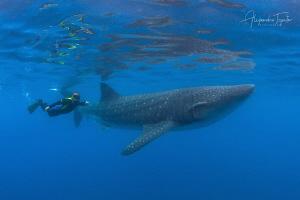 Whaleshrak and Snorkeler, Isla Contoy México by Alejandro Topete