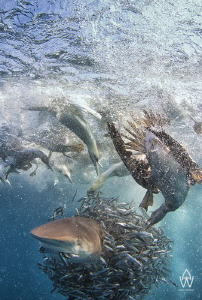 """""""Chomp""""  The privilege i had to witness this bait ball ... by Allen Walker"""