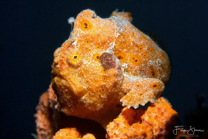 Orange is the new fashion for frogfish, Lembeh, Sulawesi. by Filip Staes