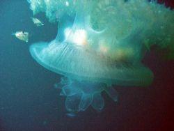 Filefish babies hiding in a jelly by Gordana Zdjelar