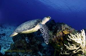 Turtle by Daniel Waldman