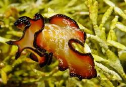 "4"" long Flamenco Dancer flatworm, shot with Nexus/Nikon D... by Kerry Brown"