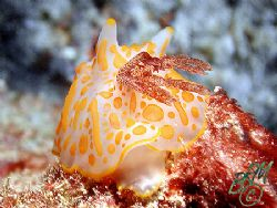 Unknown Nudibranch from Heron Island. If anyone knows wha... by Brian Mayes