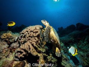 Hawksbill sea turtle (Eretmochelys imbricata), that I fre... by Olivier Notz
