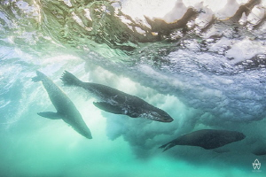 """""""Wave Riders""""  Young seals playing inside the crest of ... by Allen Walker"""