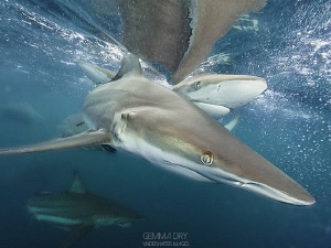 Surface shots with Oceanic Blacktips by Gemma Dry