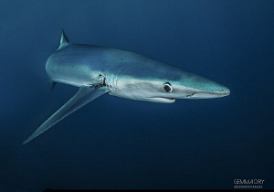 Blue Shark off Cape Point - South Africa by Gemma Dry