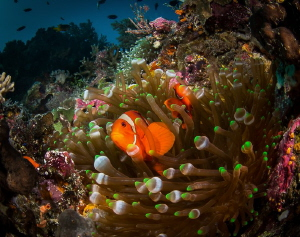 Wakatobi Spinecheek clown by Steven Miller