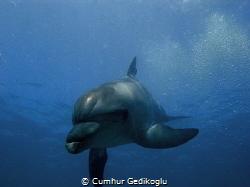 Bottle nose dolphin by Cumhur Gedikoglu