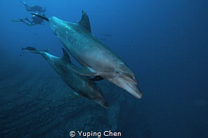 Get closer/Bottle nose dolphin/Socorro,Mexico by Yuping Chen