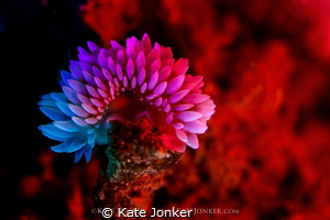 Not so silvertip silvertip nudibranch bathed in coloured... by Kate Jonker