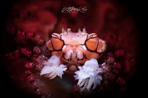 Pom Pom crab (Lybia tessellata) by Lilian Koh