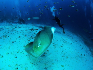 Diving with rays by Sigitas Sirvydas