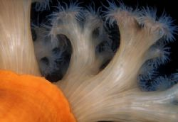 Orange Plumose Anemones, British Columbia (Nikon F4, 105m... by Andrew Dawson