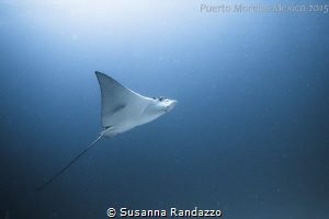 spotted eagle ray by Susanna Randazzo