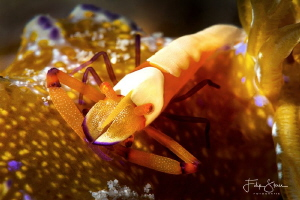Emperor shrimp, Puerto Galera, The Philippines. by Filip Staes