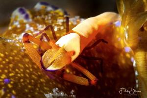 Emperor shrimp, Puerto Galera, The Philippines. by Filip Staes