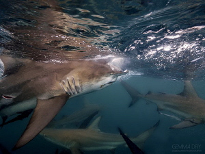 Blacktip shark on Aliwali Shoal with an odd stab/bite? ma... by Gemma Dry