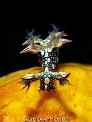 snakey bornella (bornella anguilla) Sahaung/Bangka by Lars Oliver Michaelis