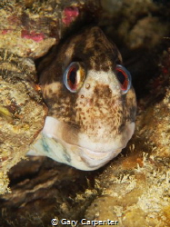 Shanny (Lipophrys pholis) - Picture taken in Kenmare Bay,... by Gary Carpenter