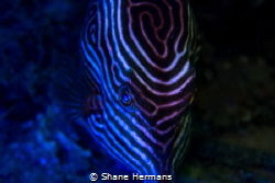 diy Blacklight used underwater on a shaws boxfish by Shane Hermans