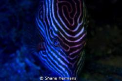 diy Blacklight used underwater on a shaws boxfish by Shane Hermans