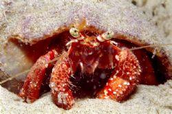 Hermit crab. Photographed in a tide poll on South Brazil... by João Paulo Krajewski