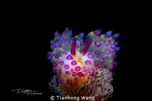 Peace / Anilao Janolus by Tianhong Wang