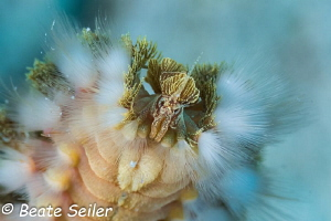 Fireworm , taken in Bonaire by Beate Seiler