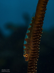 Whip coral goby ~ Sodwana Bay, South Africa by Gemma Dry
