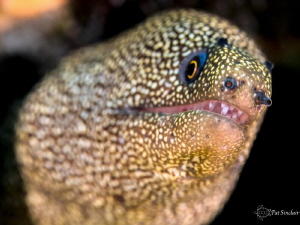 Golden Tail Eel