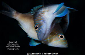 """""""Evening Romance""""  Two hamlets in a spawning clutch on ... by Susannah H. Snowden-Smith"""