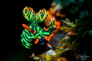 Nembrotha kubaryana, Puerto Galera, The Philippines. by Filip Staes