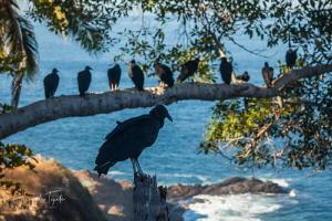 Buzzard in the tree, Acapulco México by Alejandro Topete