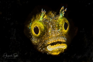 Blenny inspire, divi beach Bonaire by Alejandro Topete