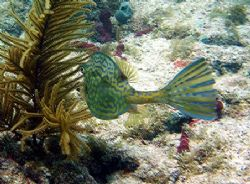 Scrawled Cowfish seen at Marathon Key June 2006. Taken wi... by Bonnie Conley