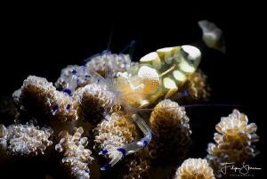 Anemone shrimp (Periclemenes brevicarpalis) by Filip Staes