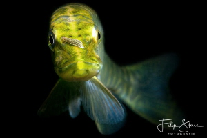 Portrait of a young pike, the pond of Ekeren, Belgium. by Filip Staes