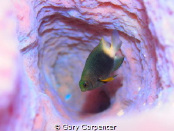 Bicolour Damselfish in Azure Vase Sponge - Picture taken ... by Gary Carpenter