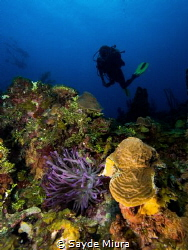 Looking for the right anemone! by Sayde Miura