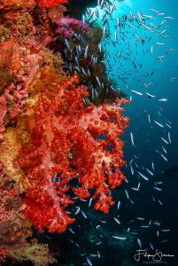 Underwater scene, Banda sea, Indonesia. by Filip Staes