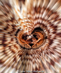 feather duster (Sabellastarte spectabilis) by Lars Oliver Michaelis
