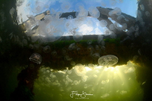 Common jellyfish (Aurelia aurita), Gemaal van Dreischor,L... by Filip Staes