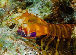 This mantis shrimp was very friendly,he was not shy at all by Simon Dyer