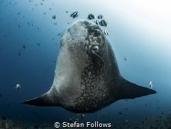 Warrior  Southern Ocean Sunfish - Mola alexandrini  G... by Stefan Follows