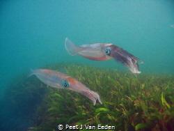 Patrolling.   Cuttlefish guarding their eggs by Peet J Van Eeden