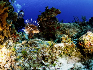 lionfish by Daniel Waldman