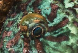 Who you looking at! Parrotfish Eye close up. by Joe Graham
