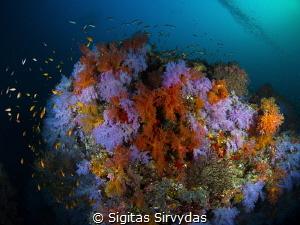 Soft corals by Sigitas Sirvydas